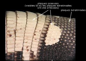 Photographie de la carapace d'un Tatou (famille des Dasypodidae), débarassée de la corne sur une petite surface, afin de montrer les plaques osseuses blanches