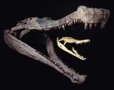 Un Crocodilien anté-Tertiaire: Sarcosuchus imperator, (110 Ma)