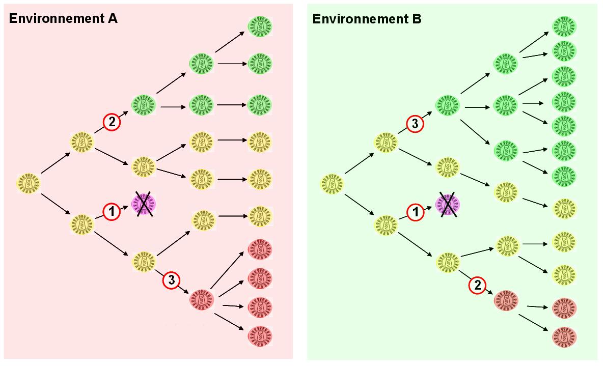 Effets de mutations et rôle de l'environnement