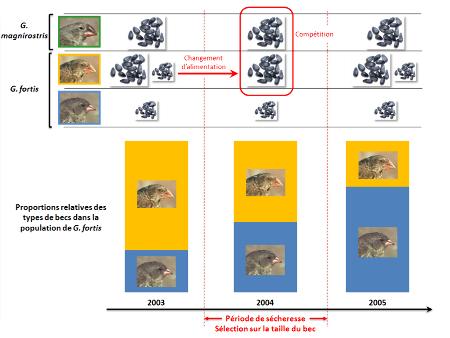 Évolution du régime alimentaire et de la composition de populations de pinsons de 2003 à 2005, sur l'île de Daphne Major (Galápagos)
