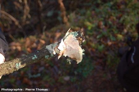 Croûtes de calcite ramassées à l'aide d'un bâton, source de Saurier-4 (63)
