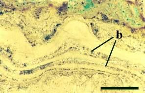 Coupe dans un stromatolithe de Rhynie