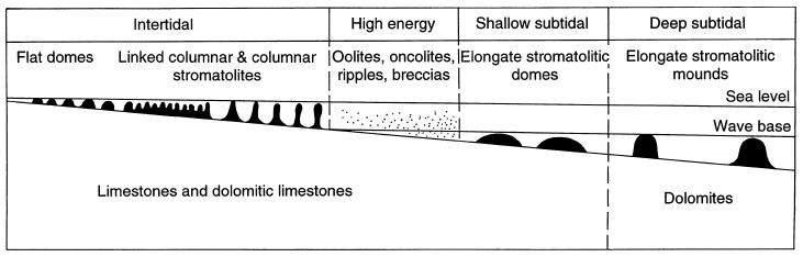 Morphologie des stromatolithes dans le Supergroupe du Transvaal, en fonction de la profondeur du milieu de formation