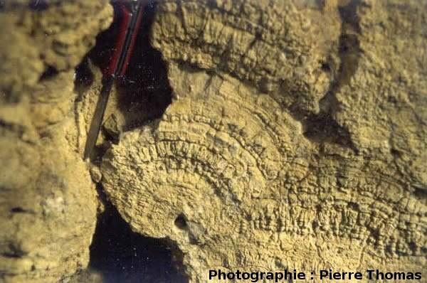 Concrétions calcaires sur des roseaux (ou autre végétation), Oligocène de Limagne, Chadrat