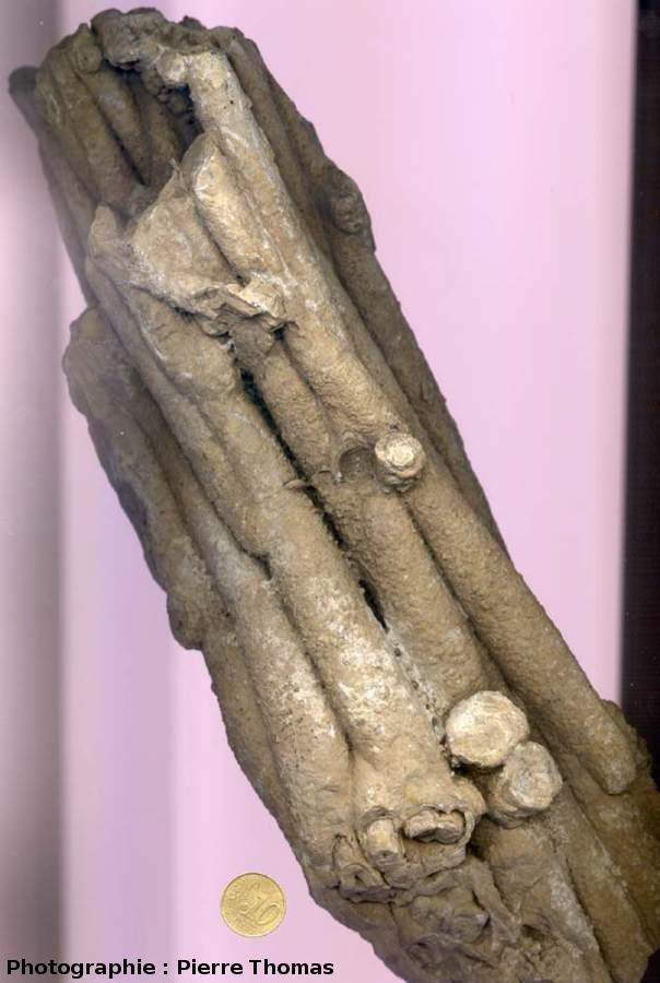 """Vue extérieure de roseaux """"stromatolithisés"""" (Chadrat)"""