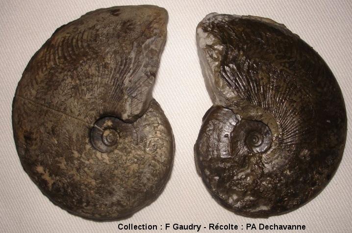 Harpoceras subplanatum, avec plus ou moins de coquille, Toarcien moyen, zone à Bifrons, Brionnais