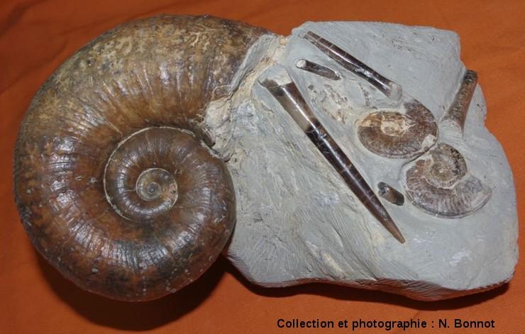 Lytoceras cornucopiae, Hildoceras bifrons et bélemnites, Toarcien moyen, Brionnais