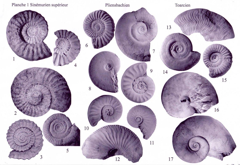 Extrait de planches d'ammonites du Sinémurien, du Pliensbachien et du Toarcien de la carte géologique de Charolles