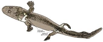 Reconstitution d'Acanthostega soulignant la position des ceintures scapulaires et pelviennes et l'orientation des membres