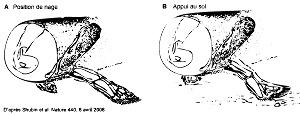 Reconstitution des positions possibles de la nageoire antérieure de Tiktaalik rosae