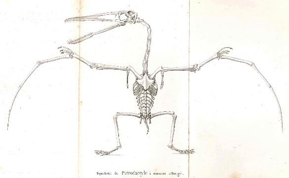 Le ptérodactyle décrit par Georges Cuvier, figurant en planche 2 de son Discours sur les révolutions de la surface du globe