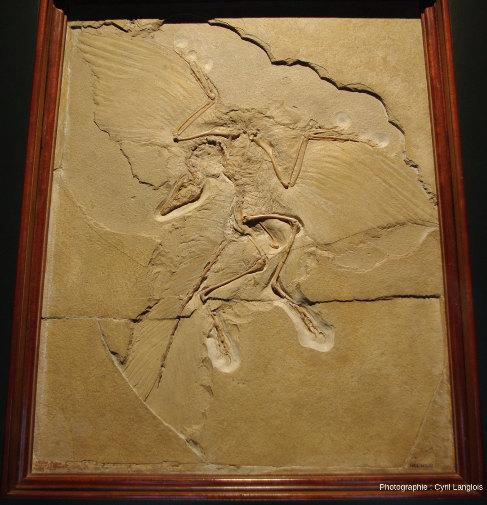 Le spécimen d'Archaeopteryx du Museum für Naturkunde de Berlin