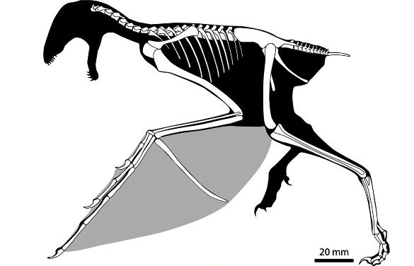 Silhouette d'Ambopteryx longibrachium, reconstitué avec sa membrane alaire en gris clair