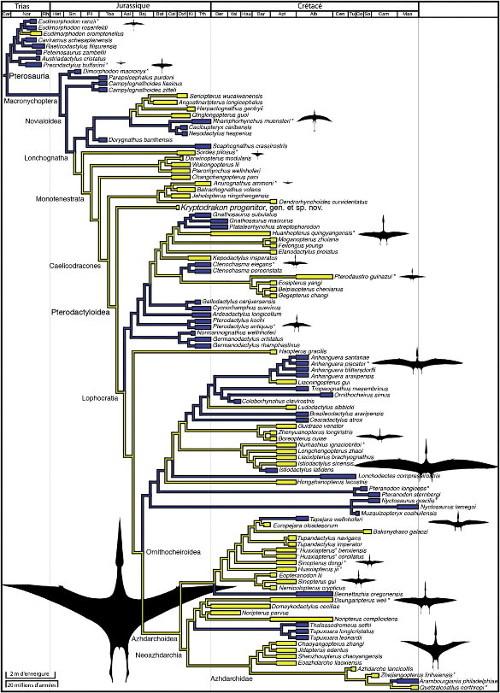 Phylogénie récente des Ptérosaures, proposée à la suite de la découverte de Kryptodrakon progenitor, le plus ancien spécimen attribué aux Pterodactyloidea