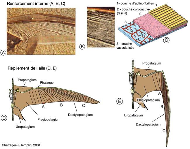 Subdivisions et organisation du patagium des ptérosaures, exemple de structure de l'aile de Ramphorhynchus muensteri