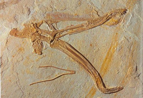 Crâne de Cynorhamphus suevicus, ptérosaure à la machoire en crochet, de fonction inconnue