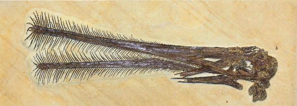 Crâne de Ctenochasma gracile, un ptérosaure piscivore ou filtreur?