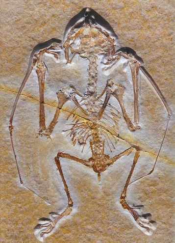 Anurognathus ammoni, petit ptérosaure (9cm de long) semblable à une chauve-souris