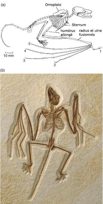 Icaronycteris (a) et Onychonycteris (b), les deux chiroptères les plus archaïques découverts dans la formation Green River du Wyoming